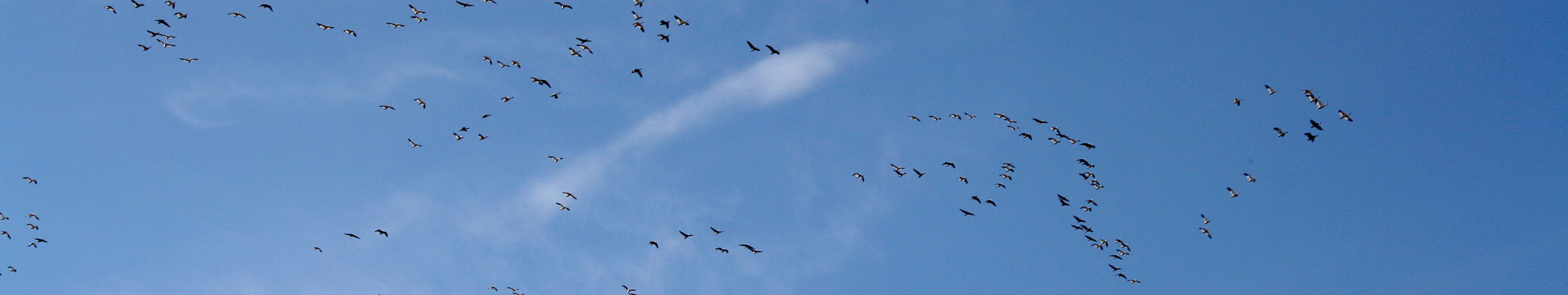 Geese flying against a blue sky.