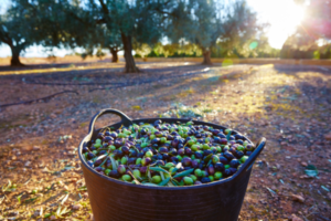 A basket of olives with sunrise and rows of olive trees in the background.