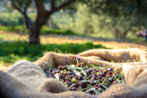 Freshly harvested olives in a burlap sack, with olive trees in the background.